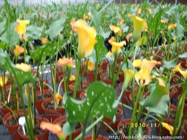 63,温室中栽培的新品种花叶黄色马蹄莲花卉.