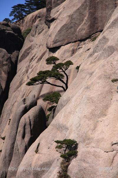悬崖上的松树