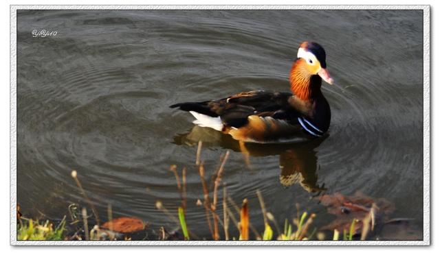【原创】水中飞禽(摄影动画)