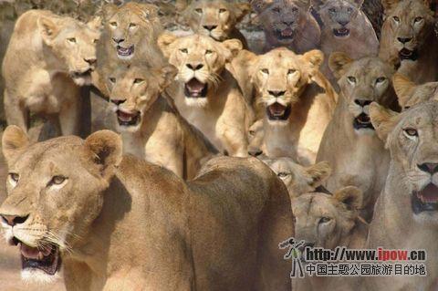 东山动物园很大,园里养有很多狮子老虎