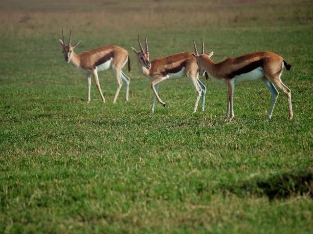 浮光掠影过非洲(二) ——肯尼亚马赛马拉野生动物园 羚羊,长颈鹿