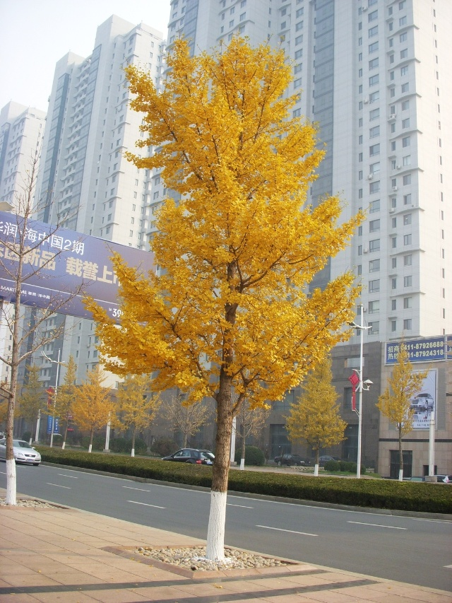 秋天的银杏树