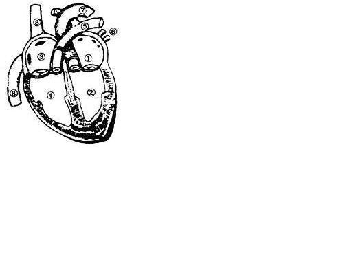 心脏结构示意图:(1)体循环的起点