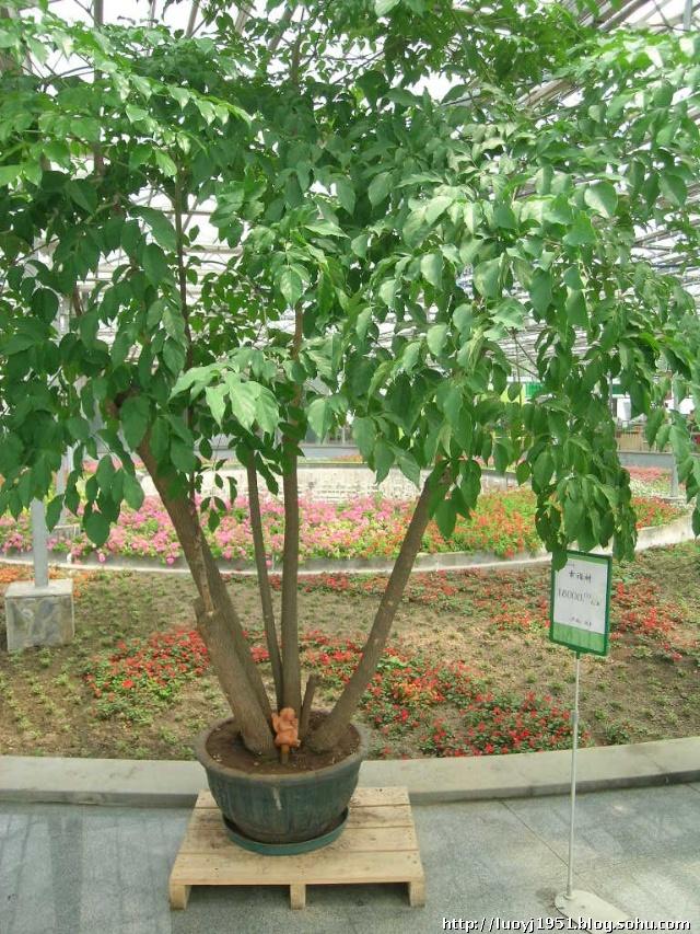 幸福树为热带亚热带植物,目前已经培育出600多个