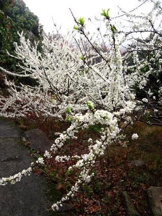 拍摄到的这些雪白雪白的李花是在快到石门森林公园门口的山间果园里看