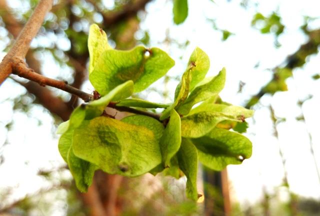 榆木树叶图片大全