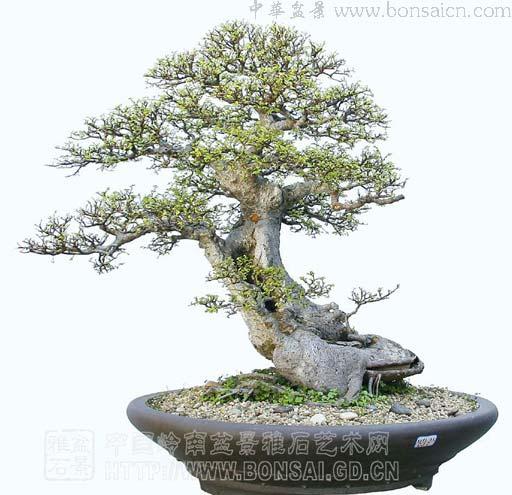 盆景 盆栽 植物 512_495