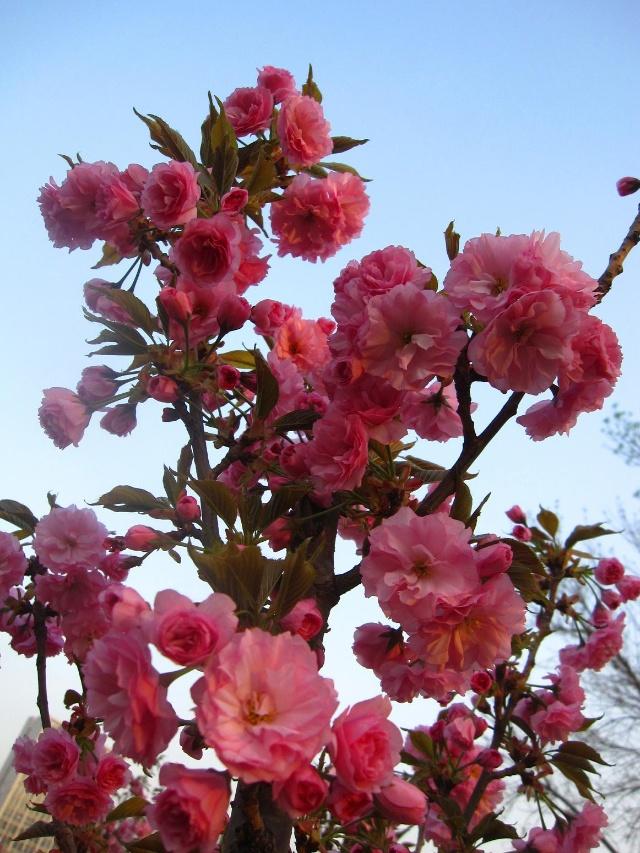 樱花树红色手绘