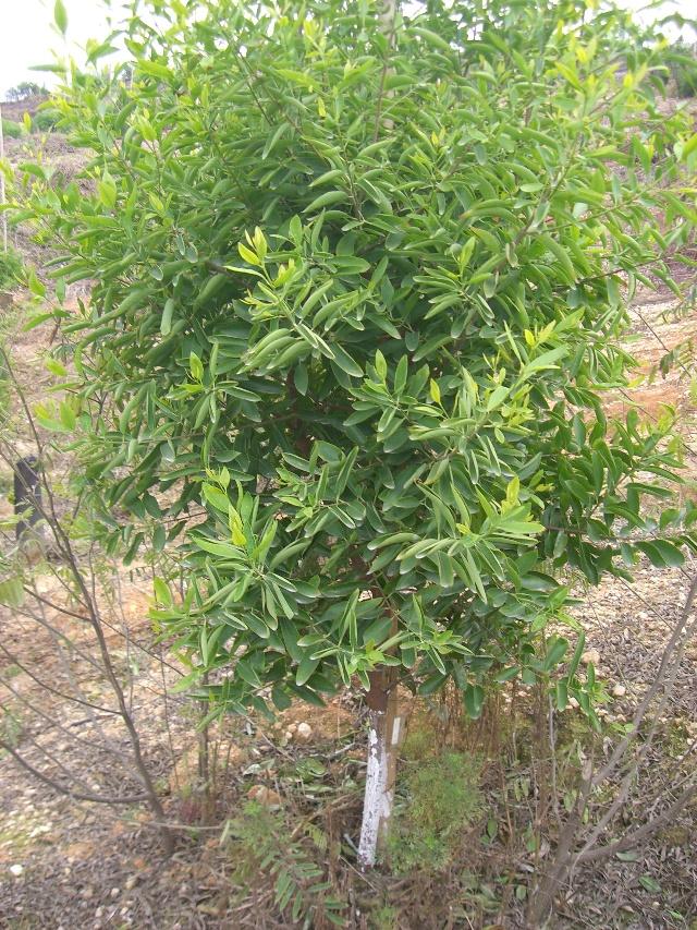 檀木树图片