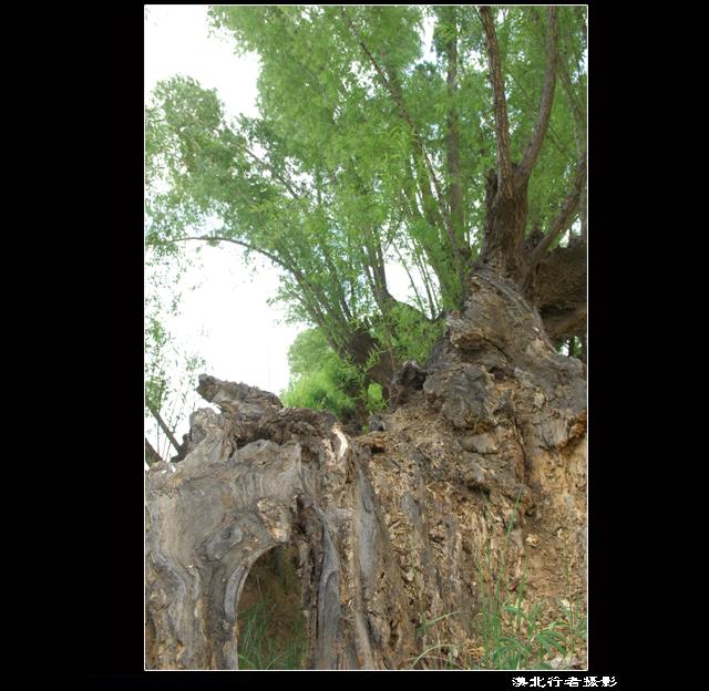 陕西靖边怪树林